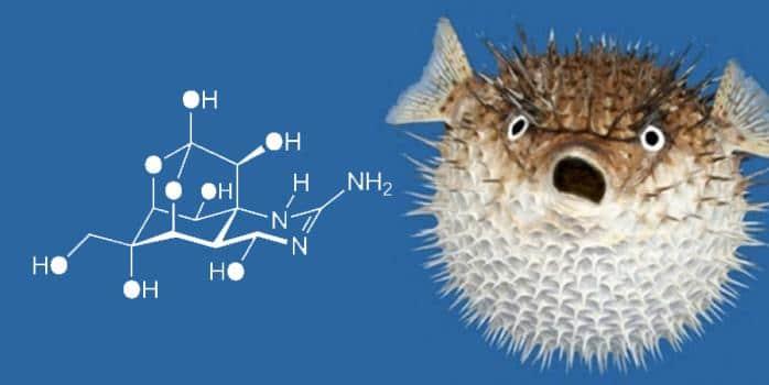 Tetrodotoxin Kugelfisch