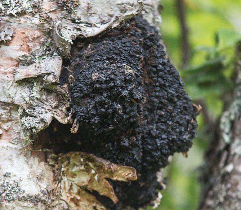 chaga tree